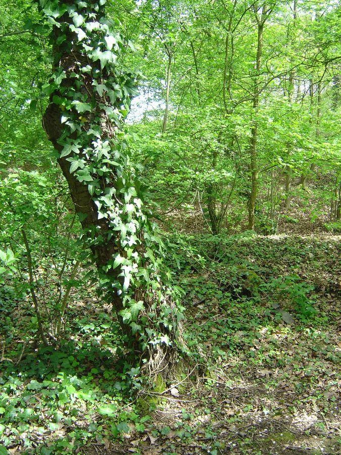 Arbre et lierre photo et image divers nature images fotocommunity - Lierre rampant couvre sol ...