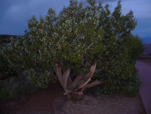arbre odorant : le Genevrier