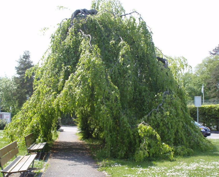 arbre tente