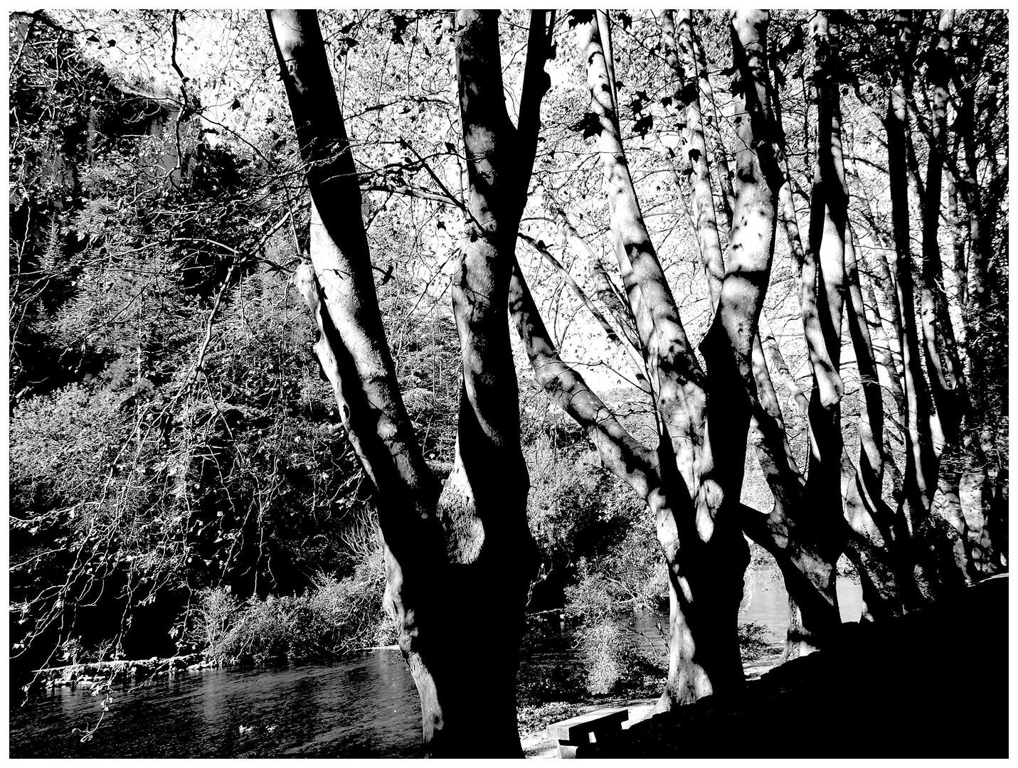 arbres en clair obscur