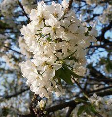 arbres fruitiers en fleurs
