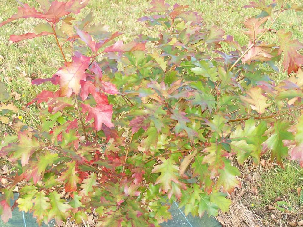 Arbuste en automne