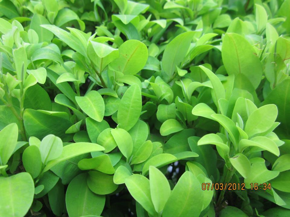 arbusto de coca