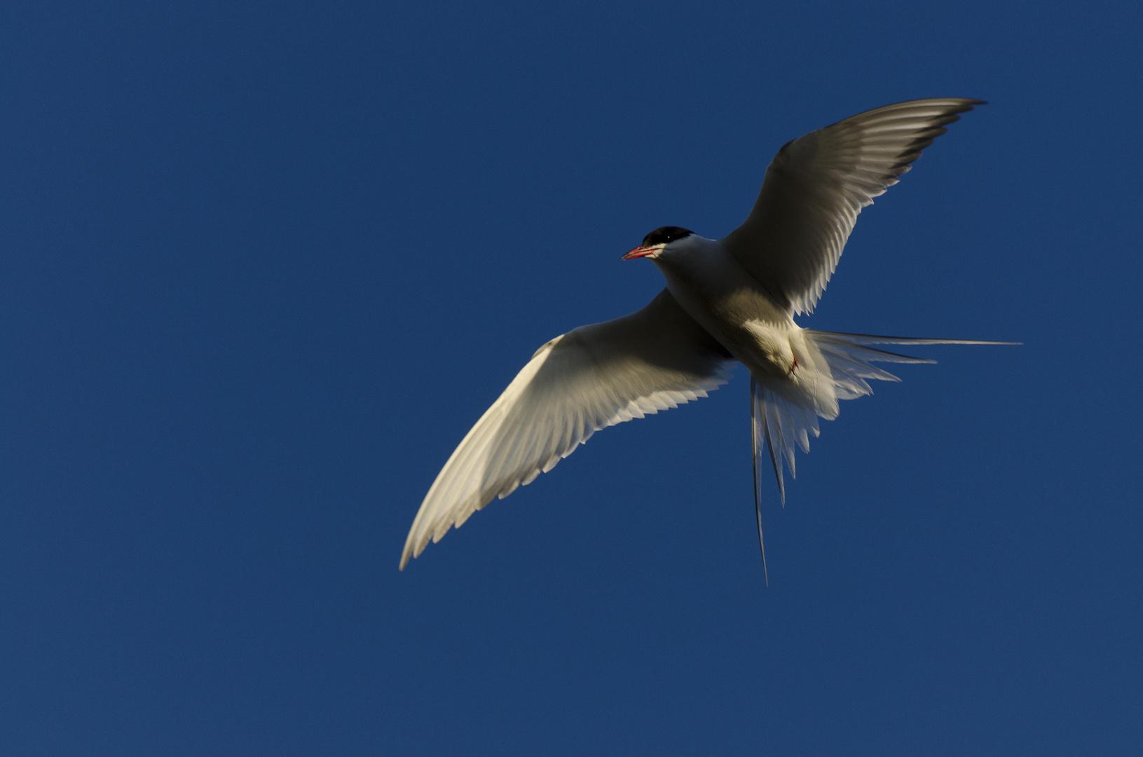 Arctic Tern - Küstenseeschwalbe