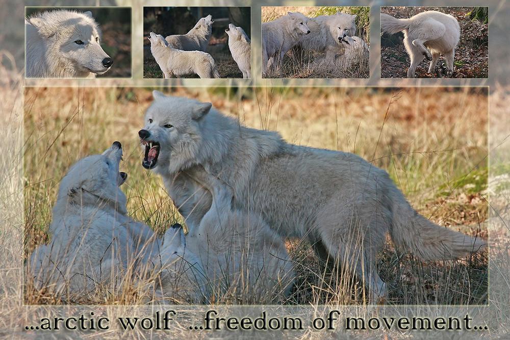 ...arctic wolf...