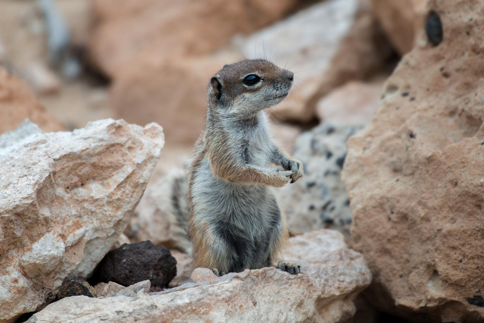 Ardilla-Moruna, Atlashörnchen auf der Insel Fuerteventura
