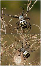 Argiope bruennichi - Wespenspinne