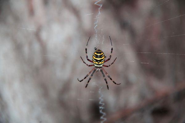 Argiope fasciata o ragno vespa