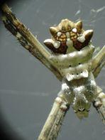argiopidae