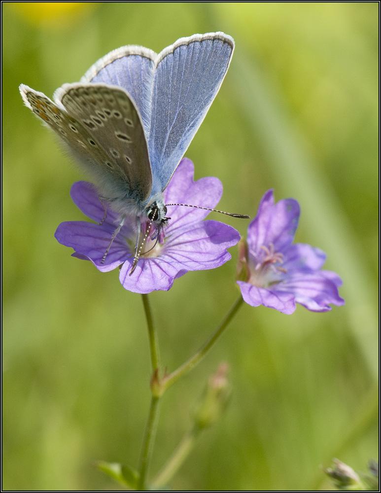 Argus bleu céleste