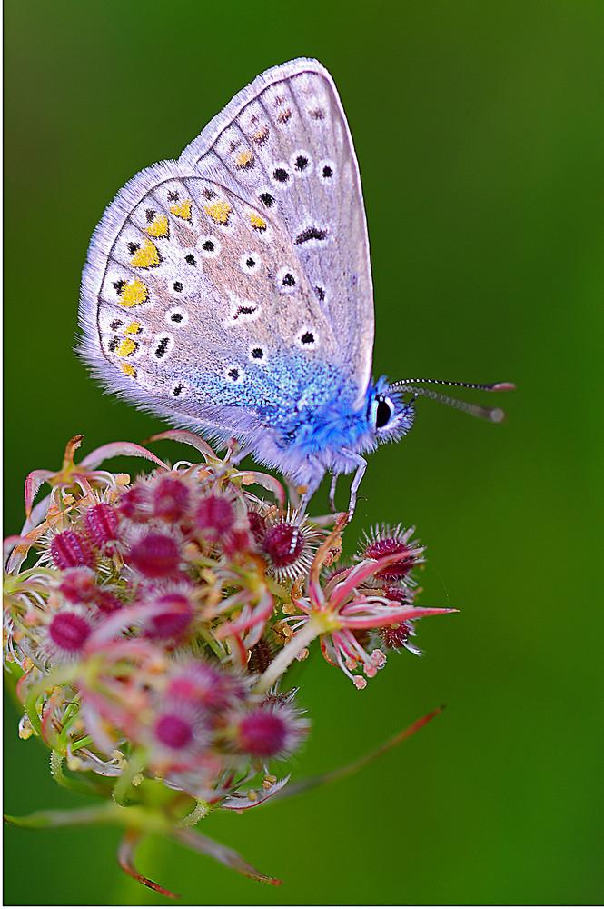 Argus bleu.