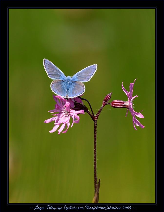 ~ Argus Bleu sur fleur de Lychnis ~