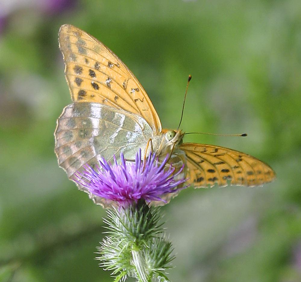 Argynnis paphia - Kaisermantel