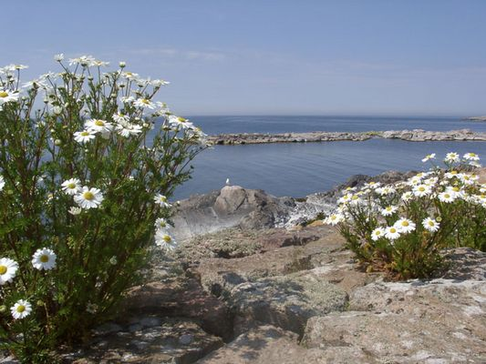Arktische Kamille auf Bornholm