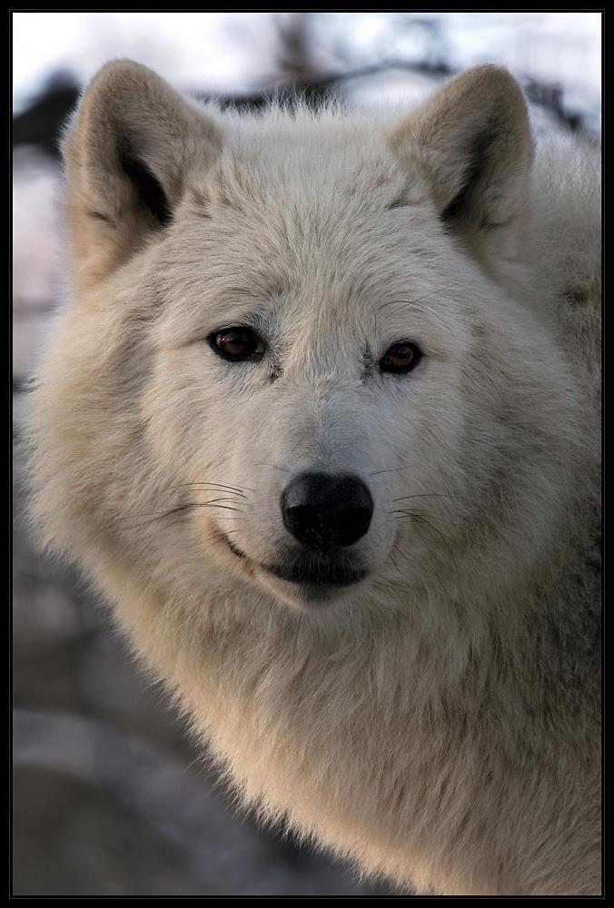Arktischer Wolf....