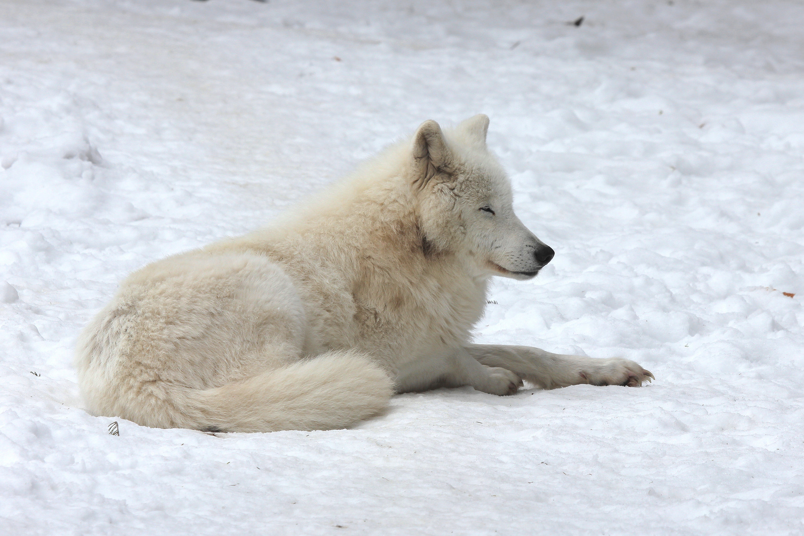 Arktischer Wolf II