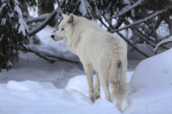 Arktischer Wolf III