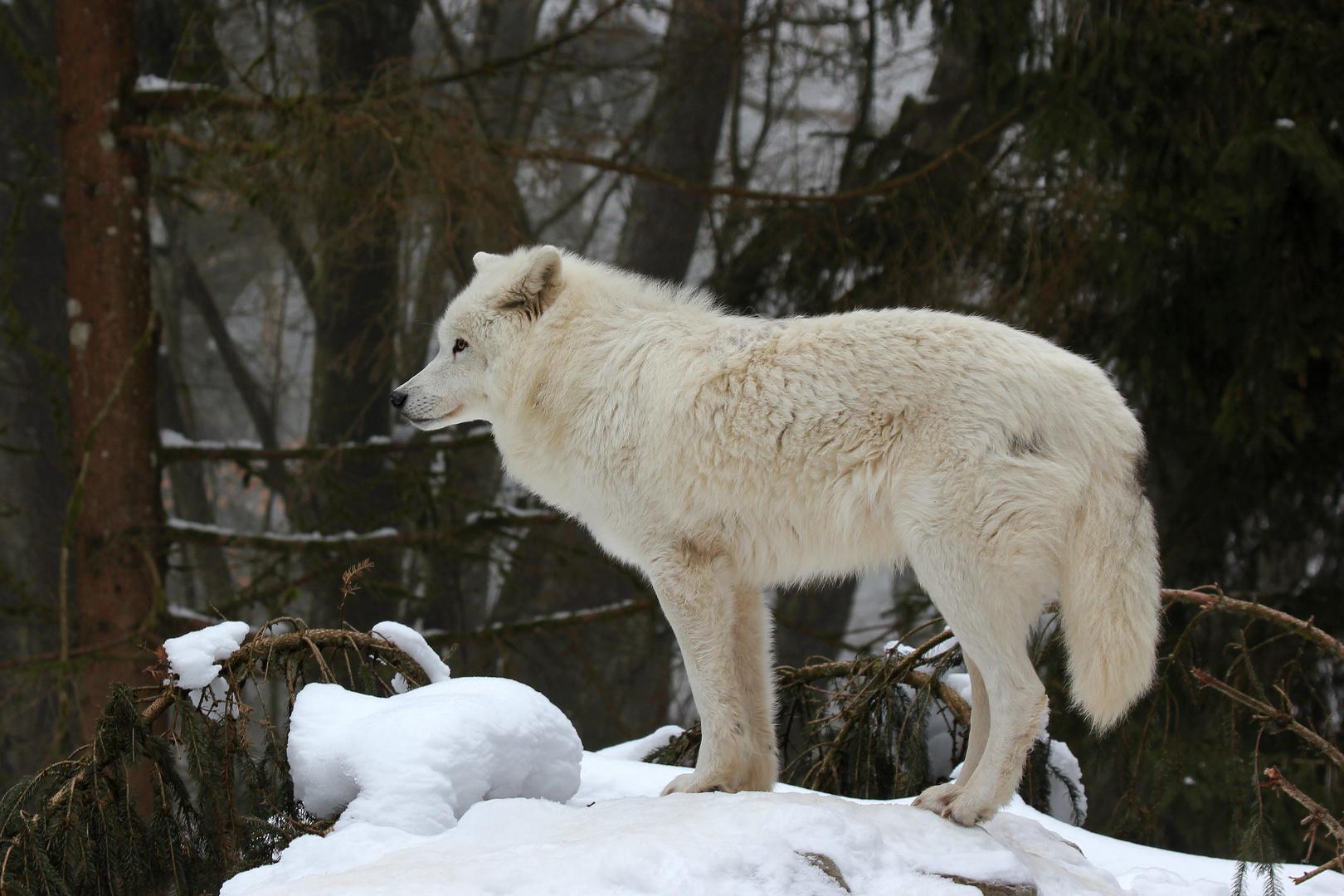 Arktischer Wolf IV