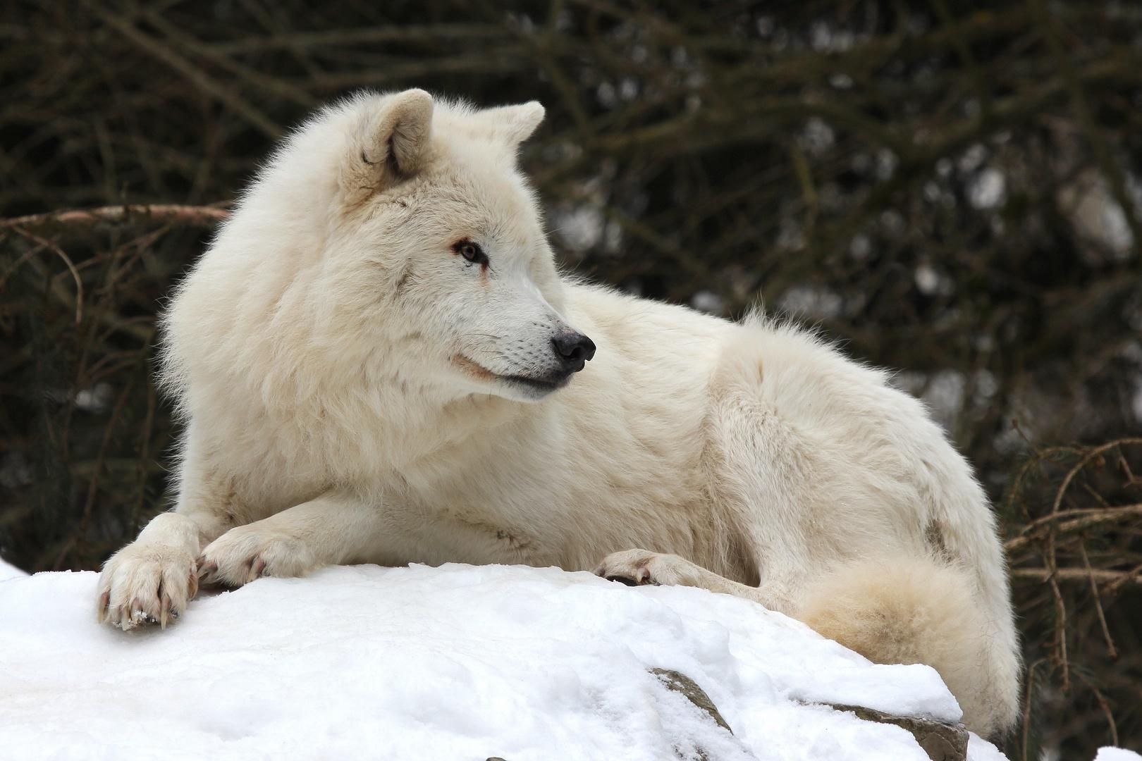 Arktischer Wolf V