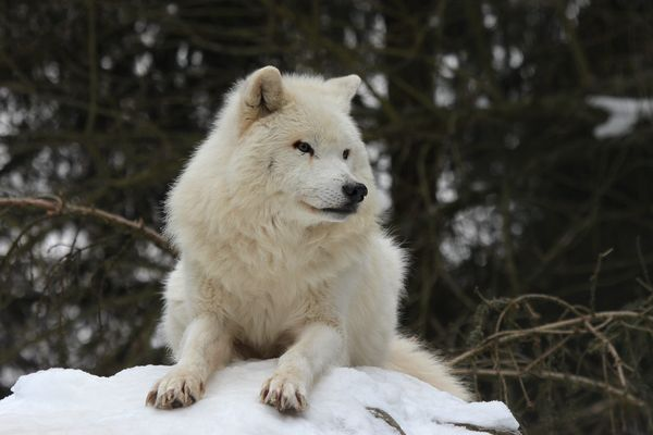 Arktischer Wolf VI