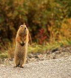 Arktisches Präriehörnchen