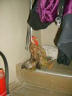 Armes Huhn