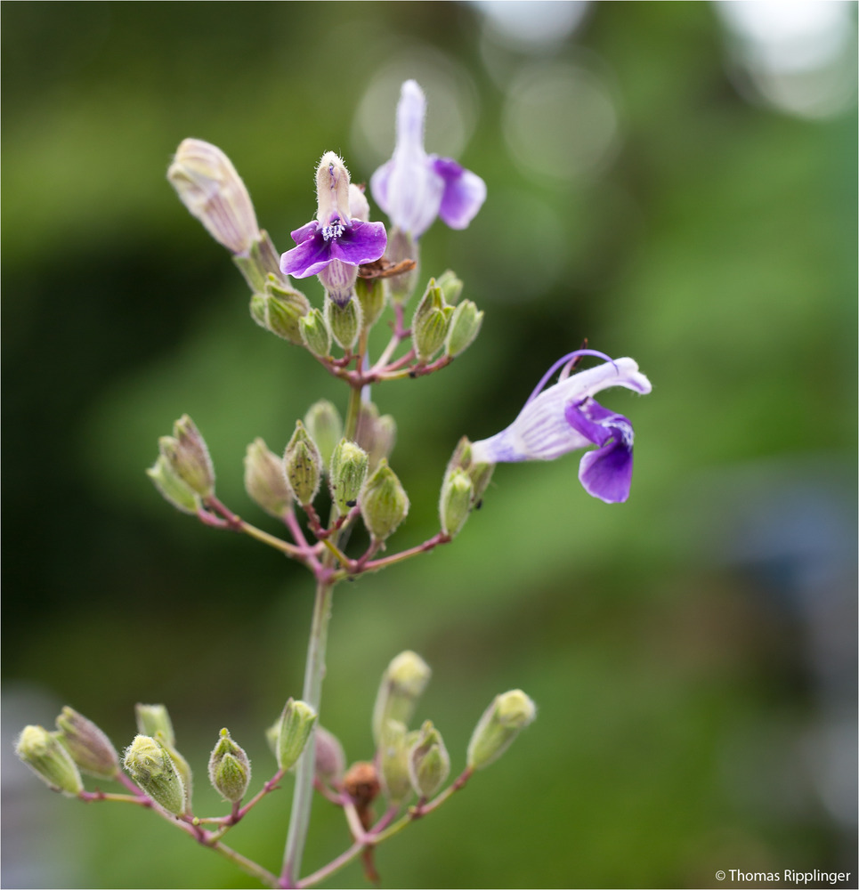 Armleuchter - Salbei (Salvia candelabrum) . ..... ...