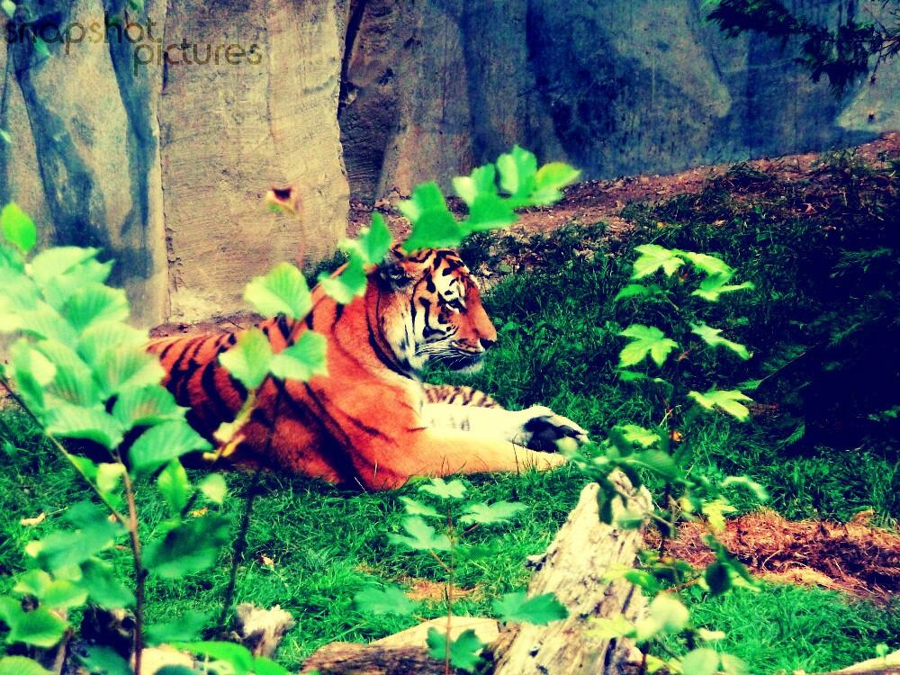 Armur-Tiger