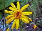 Arnica montana - Arnika oder Wohlverleih