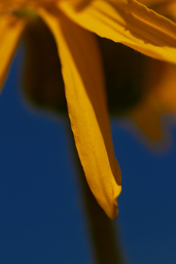 Arnika - Detail