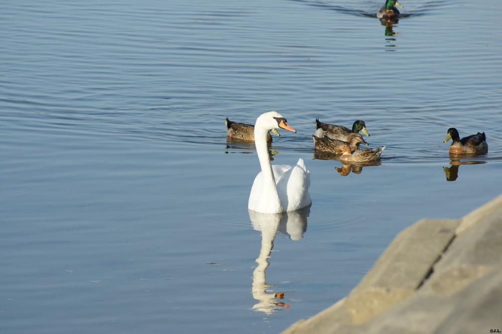 Arrivée surprise d ' un cygne sur le lac marin de Vieux Boucau