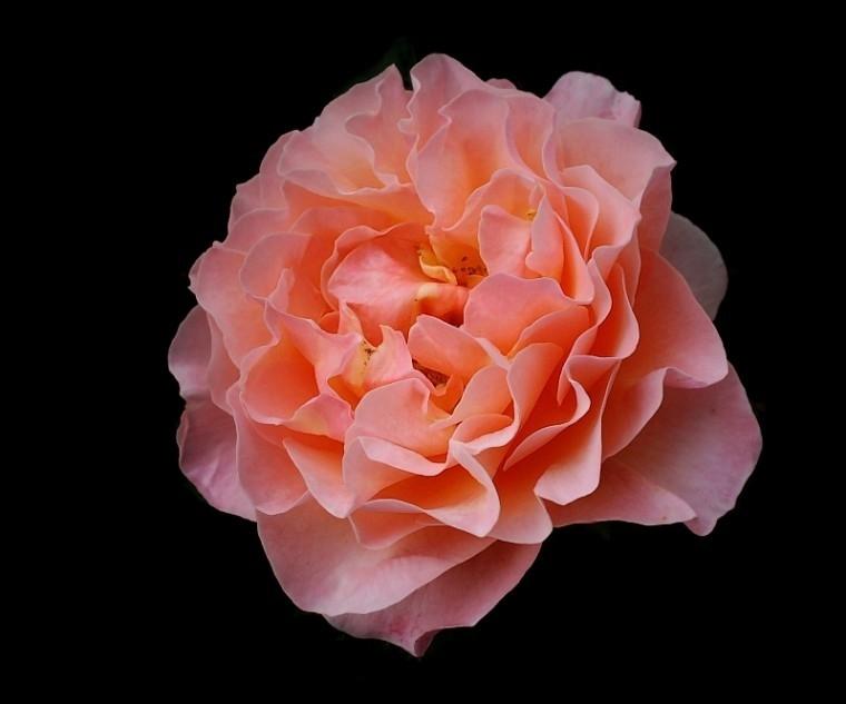 Art von Rose