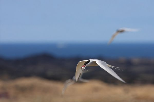 Artic tern returning from sea