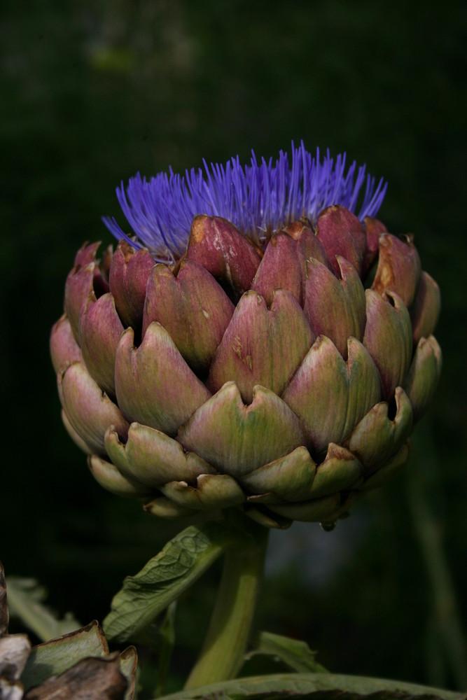 Artischocke in Blüte