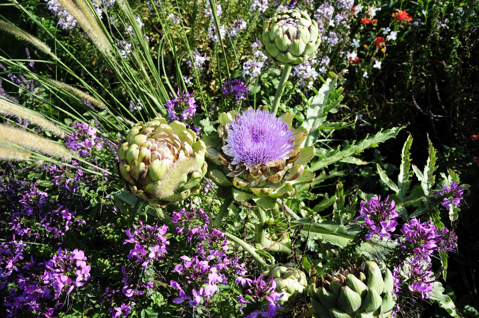 Artischocke mit Blüte 2 - Park der Gärten