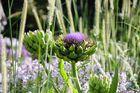 Artischocke mit Blüte 4 - Park der Gärten