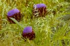 Artischocken in Blüte