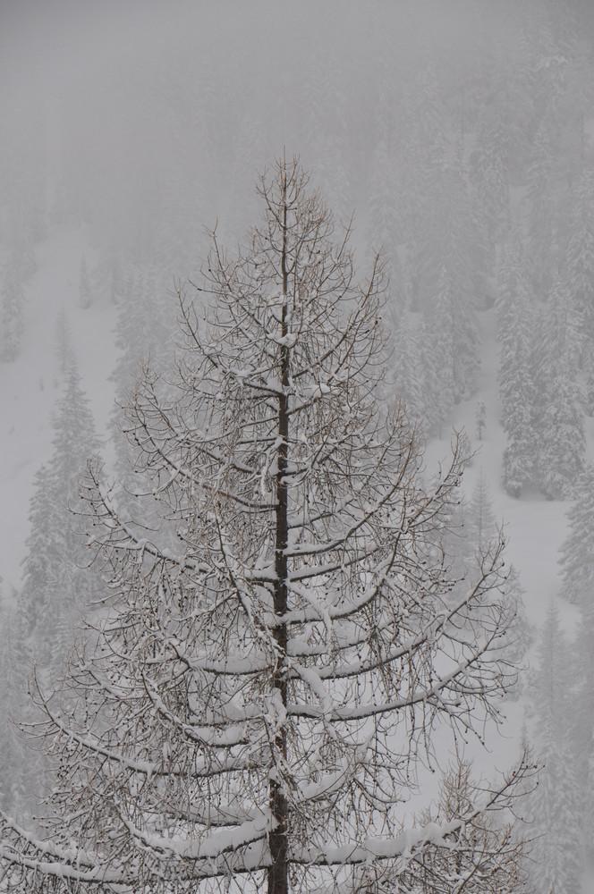 Arve im Winterdunst