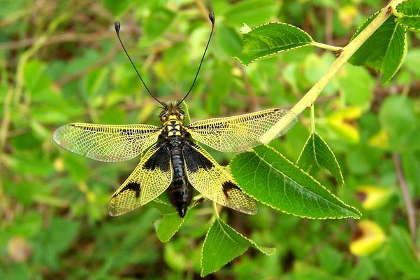 Ascalaphe (Libelloides longicornis)