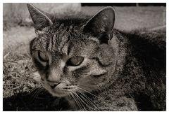 Aschberg-Katze