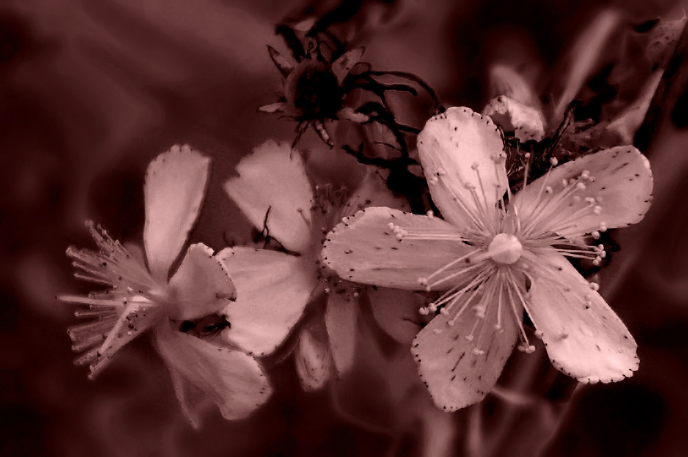 Aschermittwochsblümchen
