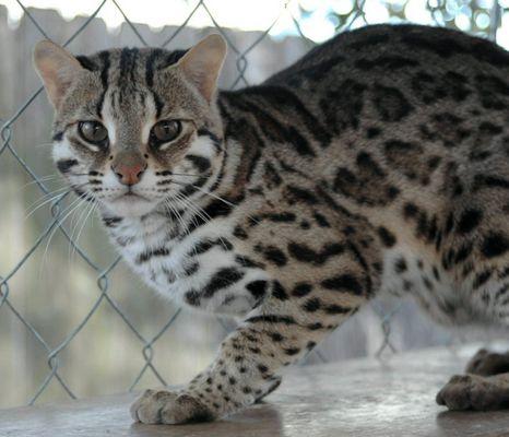 Asian Leopard Cat Murphy