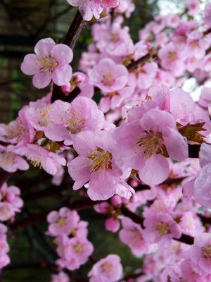 Asiatische Kirschblüte