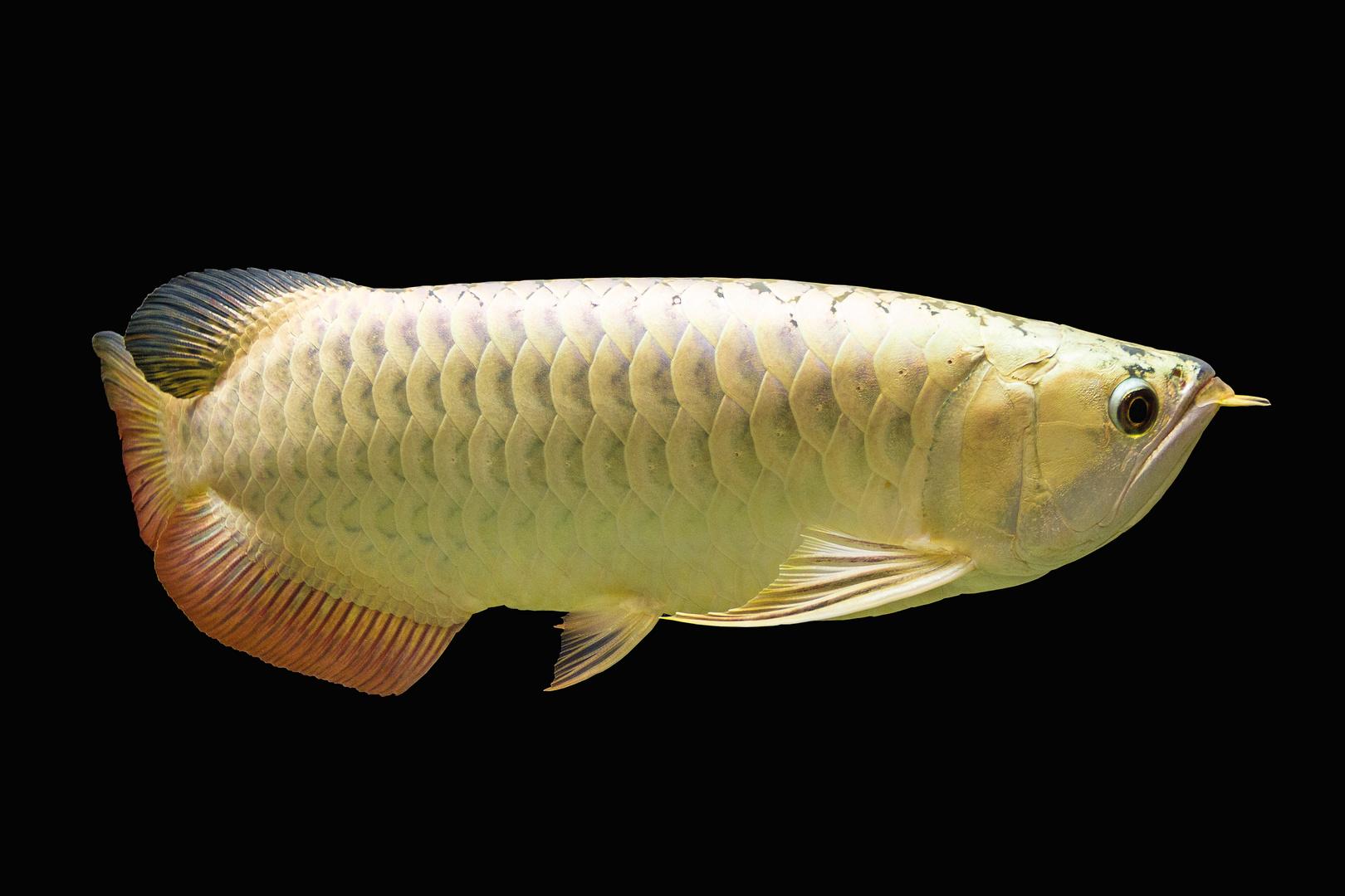 asiatischer Arowana gold