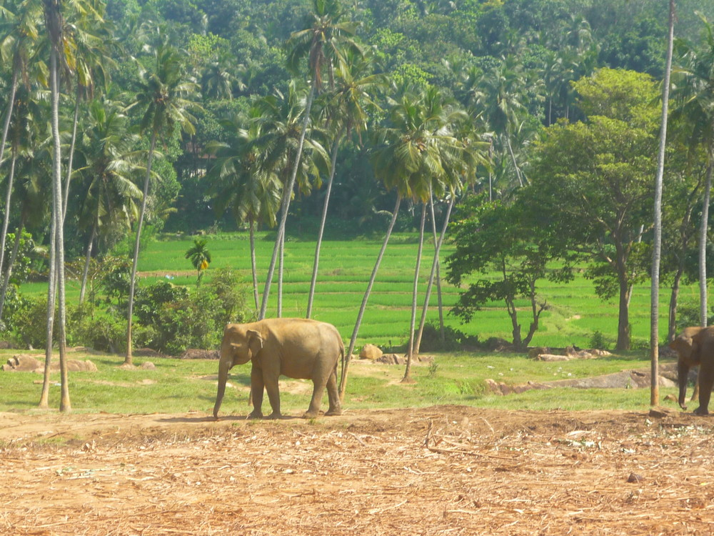 asiatischer Elefant Sri Lanka