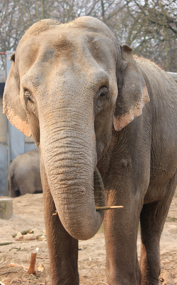 Asiatischer Elefant Zoo Krefeld