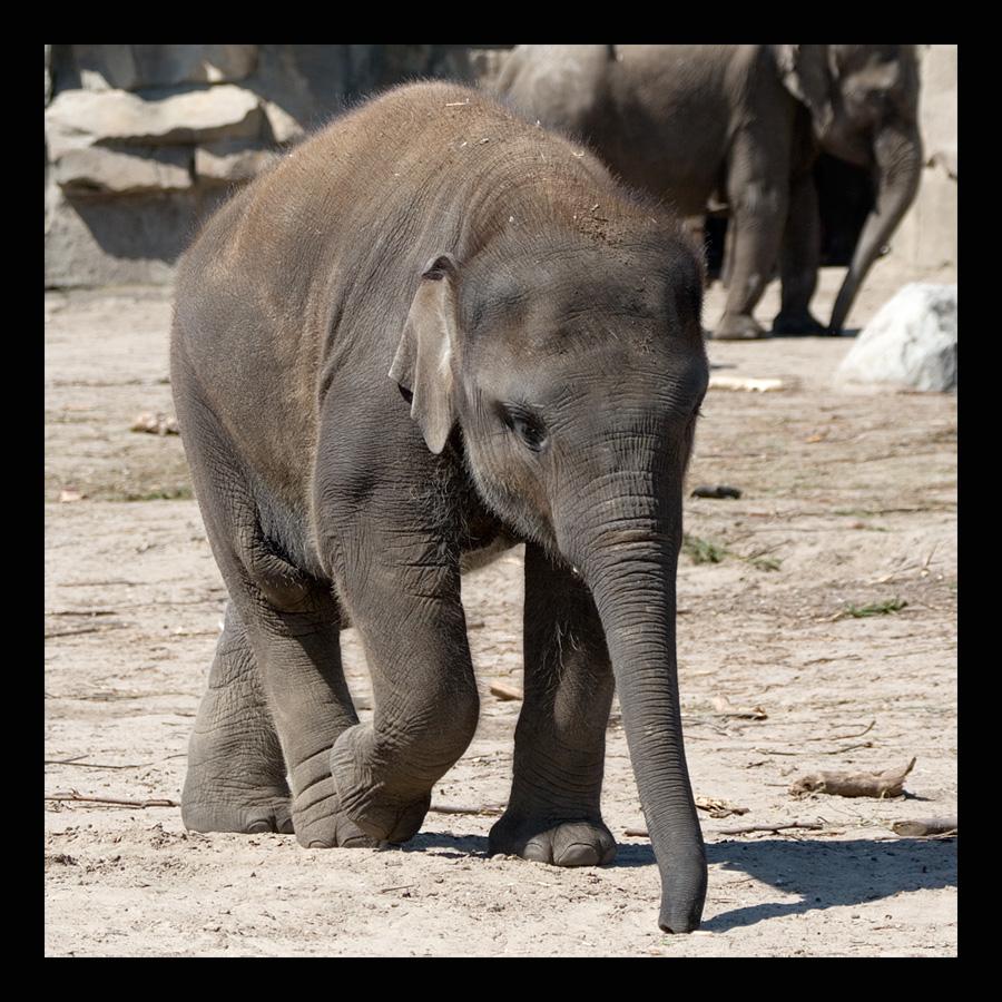 Asiatischer Elephant