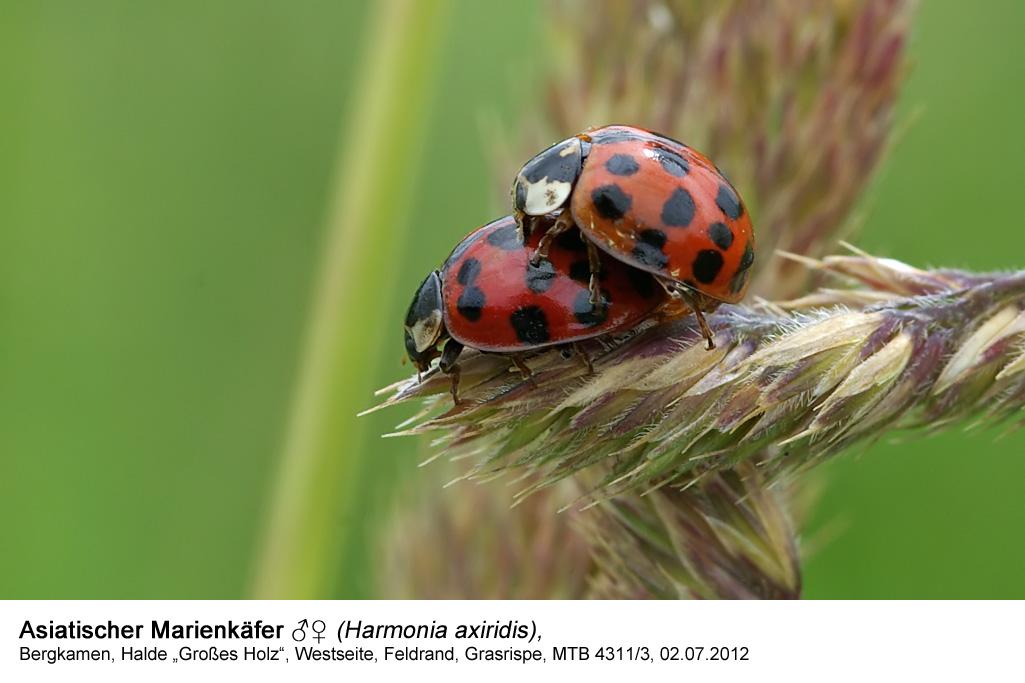 Asiatischer Marienkäfer (Harmonia axiridis)