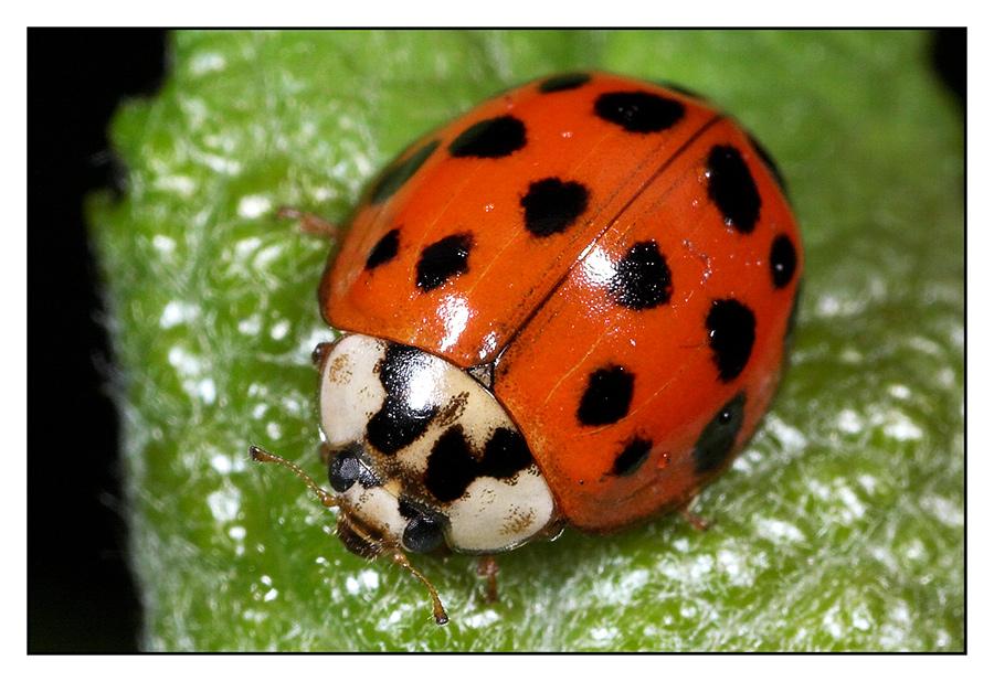asiatischer marienk fer harmonia axyridis foto bild tiere wildlife insekten bilder auf. Black Bedroom Furniture Sets. Home Design Ideas