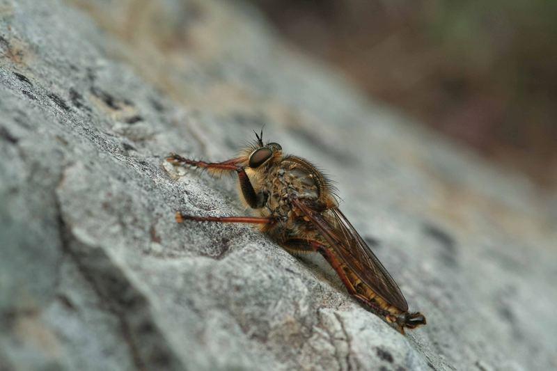 Asilide ou mouche prédatrice